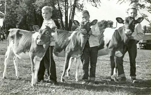 1953-cows